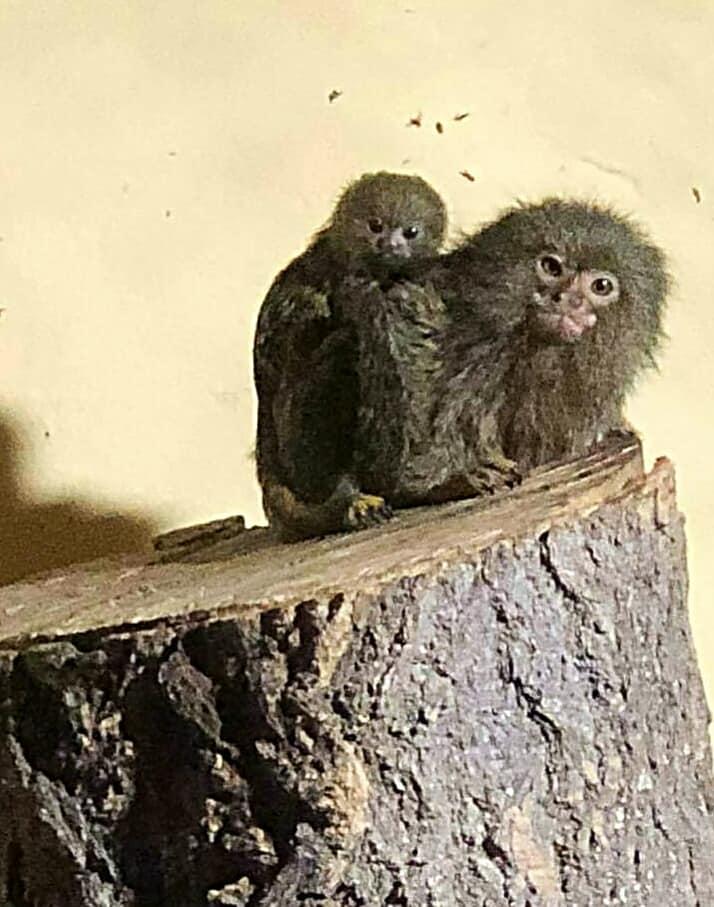 Во Зоо Скопје за првпат се роди бебе џуџест мармозет (ФОТО)
